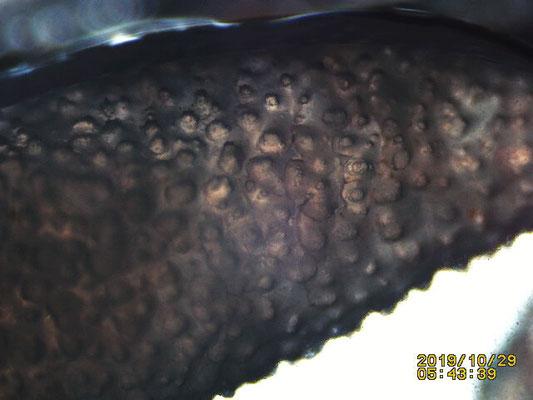 Lobophytum pauciflorum, détail surface spicule grain de riz de grande taille