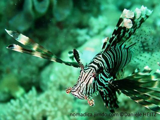 Pterois miles, Arabie Saoudite, rayons de la nageoire dorsale plumeux
