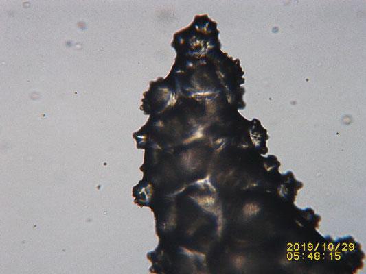 Lobophytum pauciflorum , détail pointe