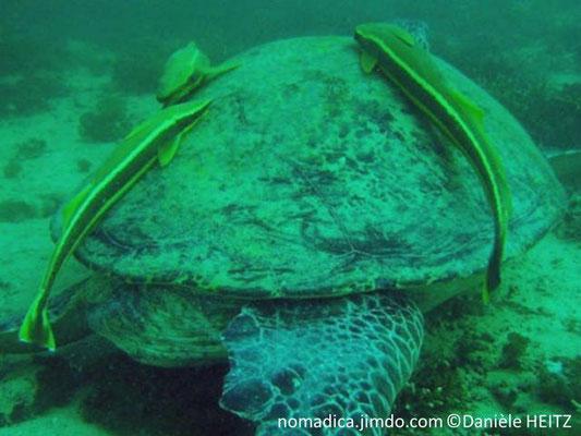 Echeneis maucrates , Arabie Saoudite, sur très grosse tortue