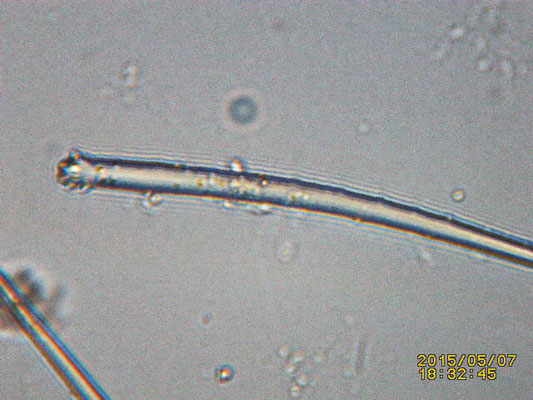 Clathria sp spicule tête
