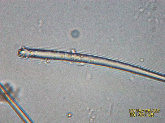Clathria (Microciona) sp  spicule tête