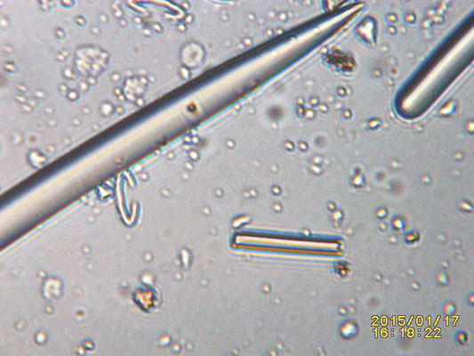 spicules, isochèles