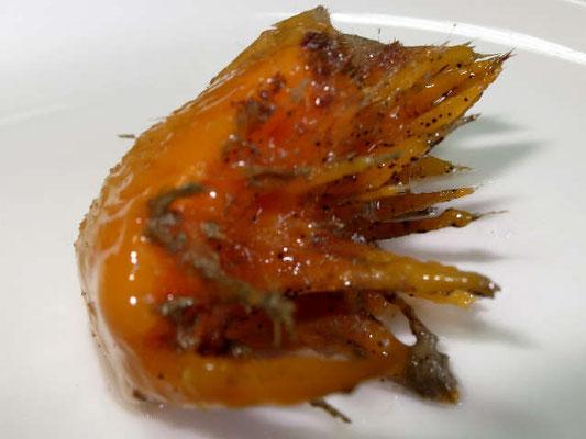 Craniella abracadabra  prélèvement, taches noires, Kamptozoa (Entoprocta)