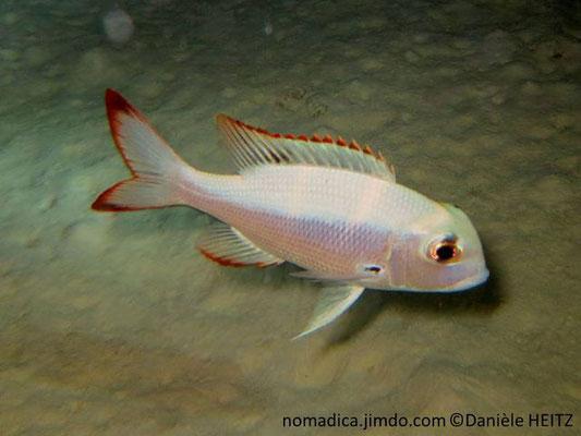 Monotaxis  grandoculis