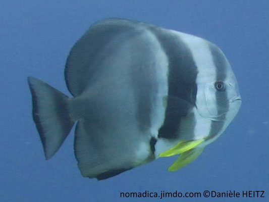 Platax teira Maldives
