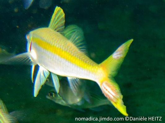 Mulloidichthys vanicolensis, Oman, parasite sur la queue