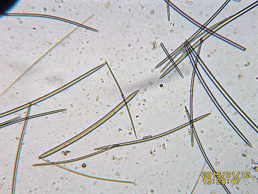 Echinodictyum flabelliforme