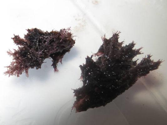 Echinodictyum flabelliforme, échantillon