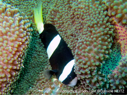Amphiprion clarkii, Philippines, femelle