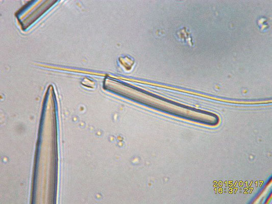 spicules, toxe