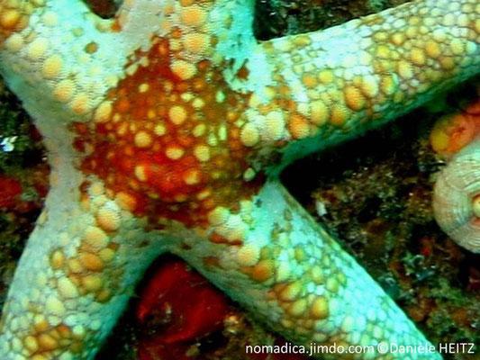 Narcissia trigonaria