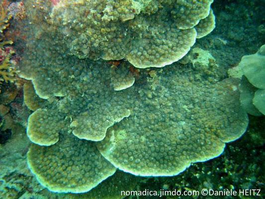 Echinopora lamellosa  mer rouge