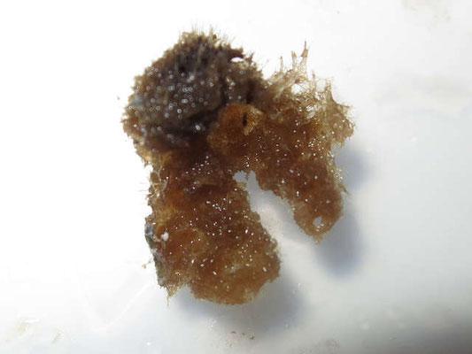 Ircinia ramosa , prélèvement