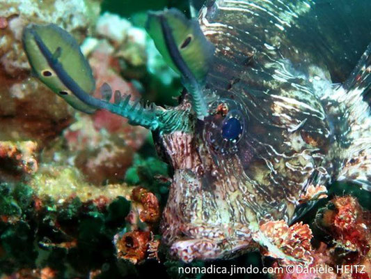 Pterois volitans, Philippines, tête, détails