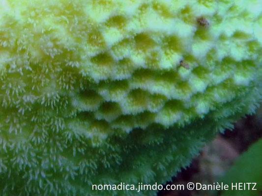 Alveopora daedalea  détail, blanchiment