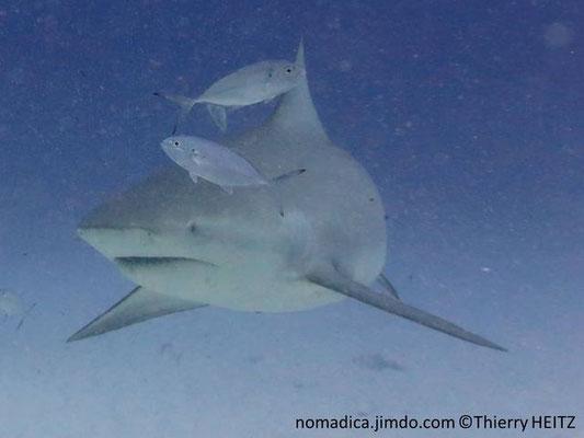 Carcharhinus leucas,  de face