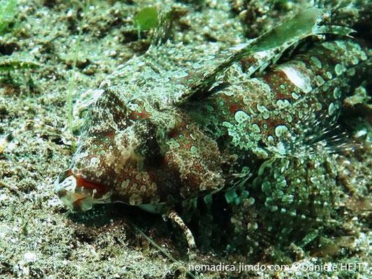 Dactylopus kuiteri