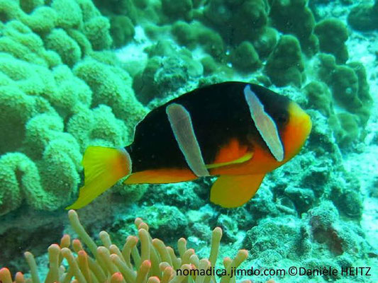 Amphiprion clarkii, Oman, femelle