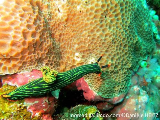 Gardineroseris  planulata avec nudibranche Nembrotha kubaryana Philippines