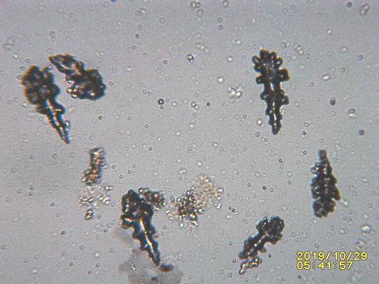 Lobophytum pauciflorum , spicules, sclérites