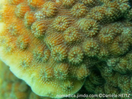 Echinopora lamellosa mer rouge, détail