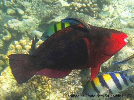 Scarus niger,  Maldives, femelle