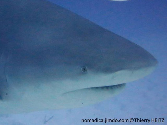 Carcharhinus leucas , museau arrondi, petits yeux
