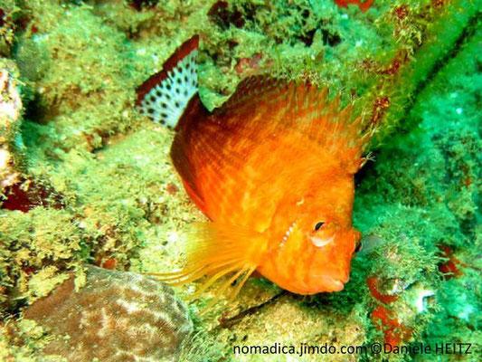 Cirrhitichthys calliurus
