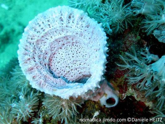Haliclona spinosella