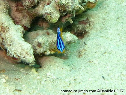 Pomacentrus trilineatus