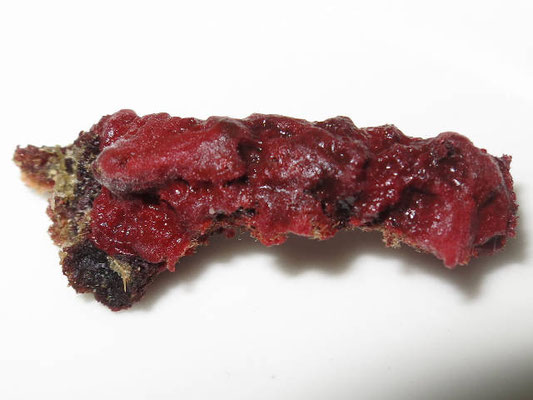 Echinoclathria gibbosa, prélèvement