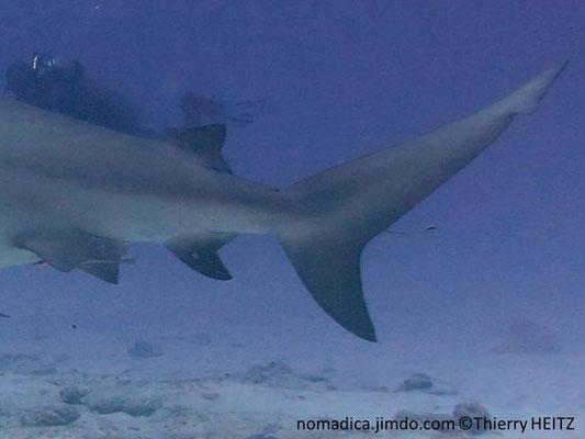 Carcharhinus leucas , nageoires pelviennes, 2ème dorsale, anale et nageoire caudale