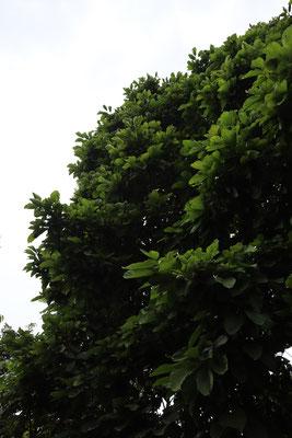 シンガポールボタニックガーデン