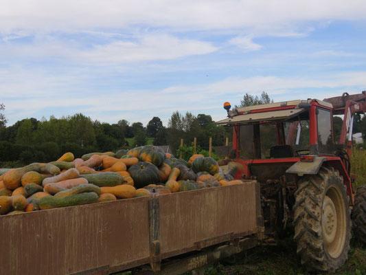 Récolte des courges en octobre (Longue de Nice et Musquée de Provence)
