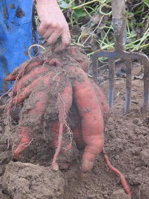 Récolte des patates douces (sous serre), en novembre