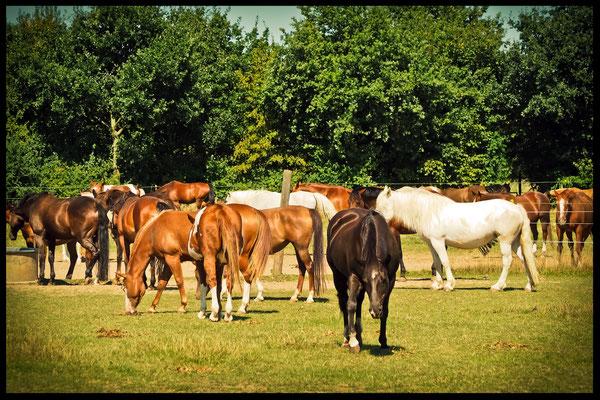 Pferdeherde auf der Weide