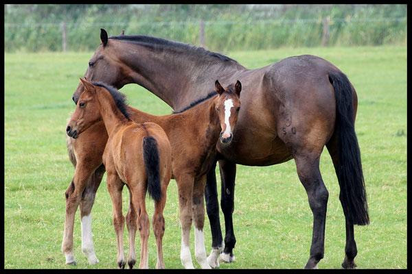 Mutterstute mit Fohlen auf der Weide