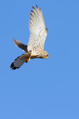 Faucon crécerelle, Falco tinnunculus. (Montchenot)