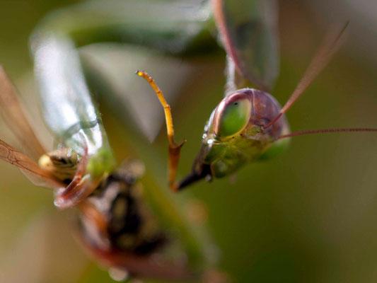 Mante religieuse, Mantis religiosa mangeant une guêpe. (Dierrey-saint-Julien)