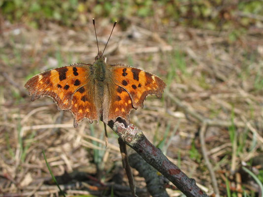 Robert-le-diable, Polygonia c-album. (Dierrey-Saint-Julien)