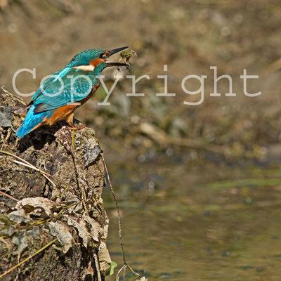 Martin-pêcheur d'Europe, Alcedo atthis et grenouille. (Lac du temple).