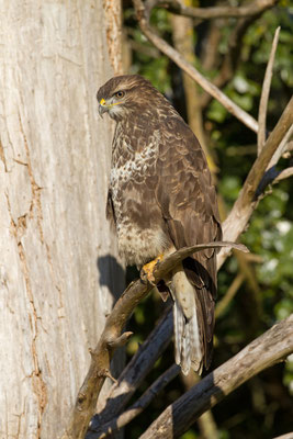 Buse variable, Buteo buteo.  (Villevenard)