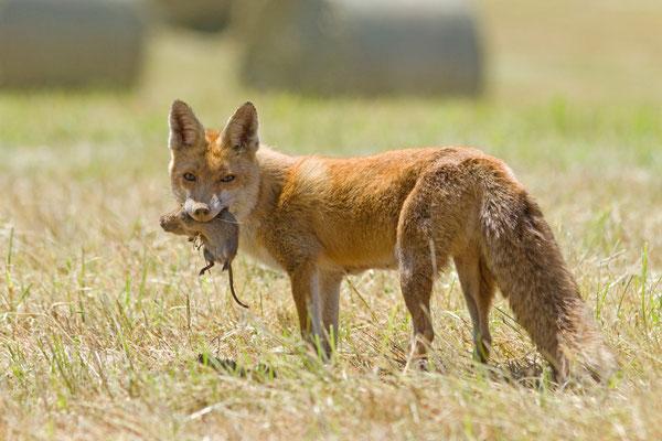 Renard roux, Vulpes vulpes. (Ardennes)