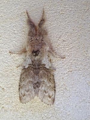 Pudibonde ou Patte étendue, Calliteara pudibonda. (Monampteuil).
