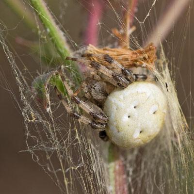 Araneus quadratus. (Aube)