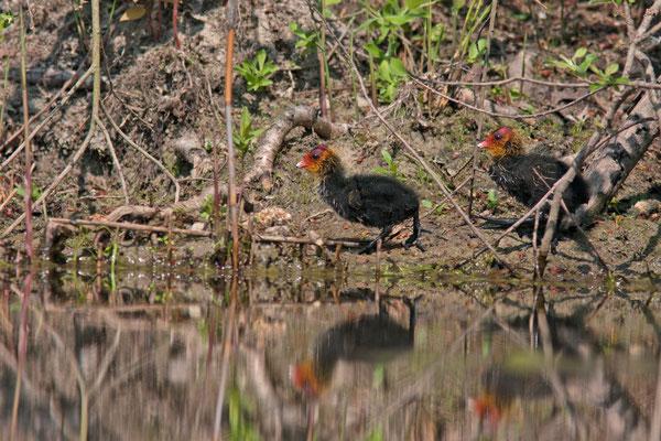 Jeunes Foulque macroule, Fulica atra. (Parc naturel régional de la forêt d'Orient)