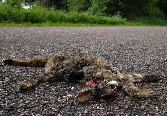 Chat sauvage ? victime de la circulation. (Haute-Marne)
