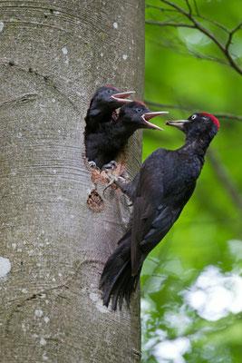 Pic noir, Dryocopus martius. (Nogent-l'Abbesse).