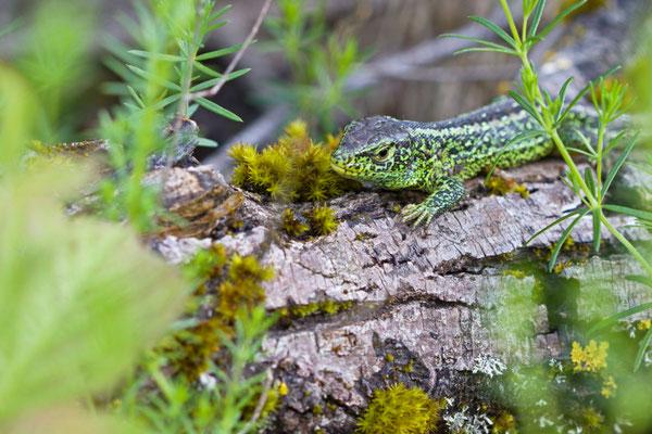 Lacerta agilis, Lézard des souches mâle (Ardennes).